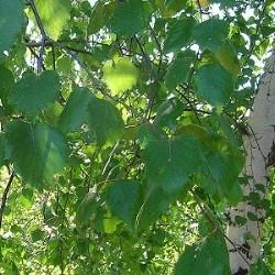 какой веник полезнее для здоровья дуб или береза